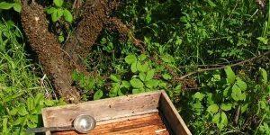 Роение и медосбор карпатских пчелосемей в Красноярском крае