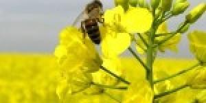 В Красноярском крае будут выращивать рапс
