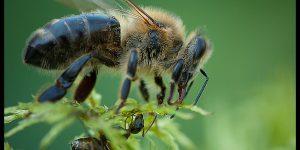 Пчелы и муравьи являются родственниками