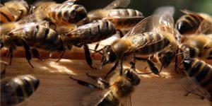 Ученые узнали как ругаются пчёлы (аудио)