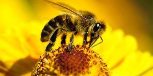 Пчелиный яд – уникальный кластер регуляторных пептидов