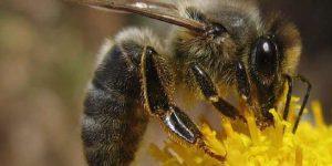 Томские ученые создали племенное ядро чистопородной среднерусской пчелы