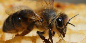 Причина гибели пчёл в Башкирии во время зимовки 2016/2017. Погибло не более 5% семей