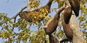 Азиатские пчелы отпугивают врагов пуская волну (видео)