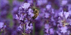 Новая порода пчёл «Московская»
