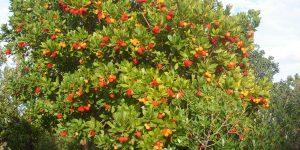 Мёд с земляничных деревьев останавливает рак толстой кишки
