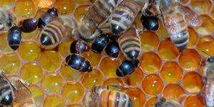 Малый ульевой жук продолжает расселяться по миру