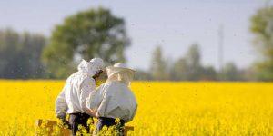 Рапс, получение рапсового мёда в Сибири