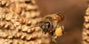Растительные микроРНК в пище тормозят развитие организма пчелы