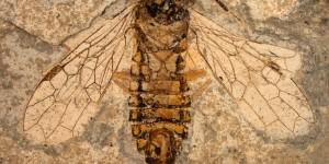 Найдено семейство ископаемых насекомых - Наносиалиды (255 млн лет). Предки пчел
