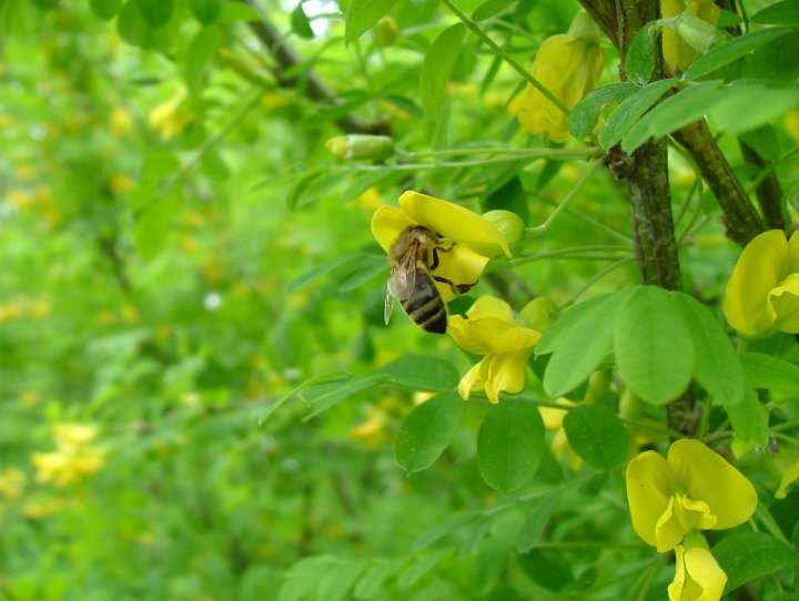 Пчела на желтой акации