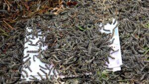 Гусеницы Сибирского Шелкопряда