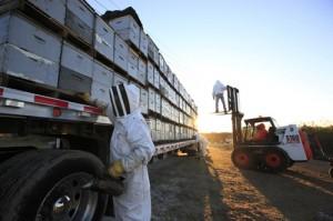 Динамика пчеловодства США