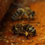 Пчелы-собирают-прополис-со-дна-улья