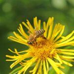 Пчела-на-ромашке-фото-3