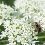 Пчела-на-цветке-Борщевика