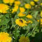 Пчела-на-одуванчике