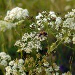 Пчела-на-Бедренеце-Камнеломковой