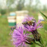 Пчела-на-серпухе