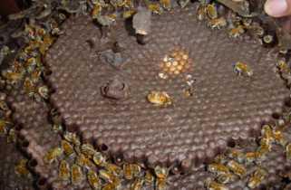 Гнездо пчел Meliponae