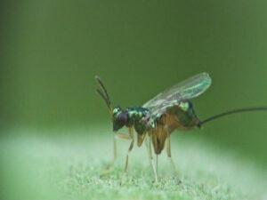 Самка паразитической осы готовится отложить яйца в плод инжира