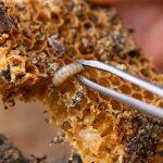 Гусеница восковой моли