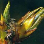 На почках растений для защиты побегов от неблагоприятных факторов и болезнетворных организмов выделяются смолистые вещества, содержащие большое количество фитонцидов, эфирных масел, бальзамоподобных веществ, спиртов и т. д. Все эти вещества собирает пчела и использует затем при вырабатывании прополиса.