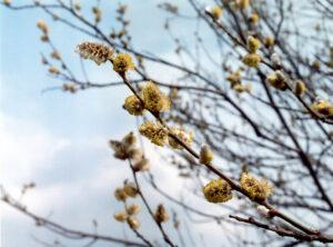 Весна. Цветет Ива