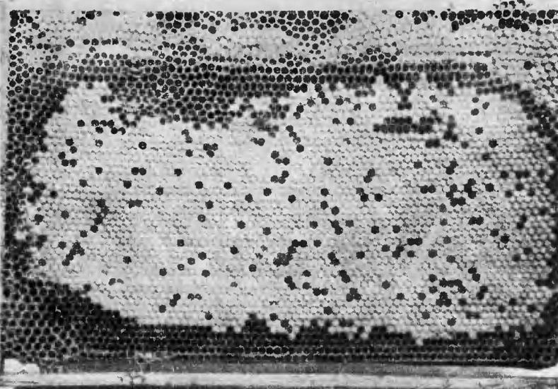 Рис. 2. Эффект откладывания маткой диплоидных трутневых яиц. Фаза 1-я. Среди печатного расплода разбросаны отдельные пустые ячейки из-под личинок трутней, развивавшихся из оплодотворенных яиц.