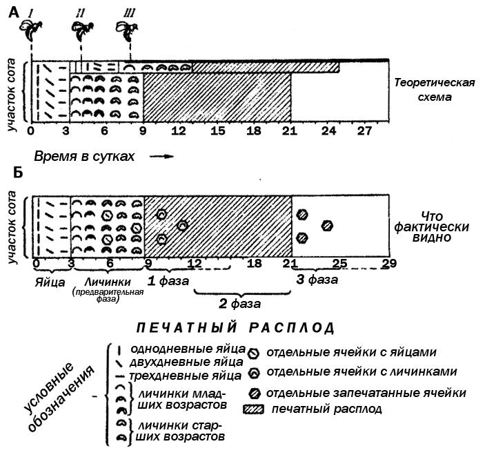 Рис. 1. Схема изменения генетического пестрого расплода на участке пчелиного сота, засеянном оплодотворенными яйцами за короткий срок. Показаны периоды различных фаз получающегося эффекта. Для примера взята матка, дающая 20%  «плохих» яиц. Повторный  (II) и третий (III) засевы ячеек маткой, бывающие в разные сроки, взяты через 4 и 8 дней после первого. Ячейки  с  уничтоженными   трутневыми   личинками  изображены на рис 1.А только сверху, на рис 1.Б — по всему участку сота.
