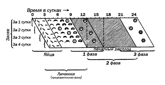 Рис. 4. Схема   появления   и   исчезновения    генетического пестрого расплода  на отдельной рамке, засеянной оплодотворенными яйцами за 4 дня подряд. Обозначения те же, что на рис. 1.
