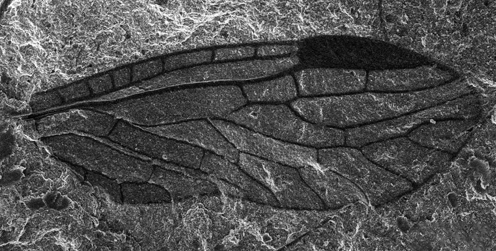Прекрасно сохранившееся крылышко наносиалиды возрастом 260 млн. лет под сканирующим электронным микроскопом